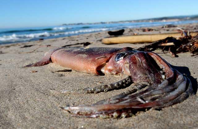 calamar de Humbolt varado en California