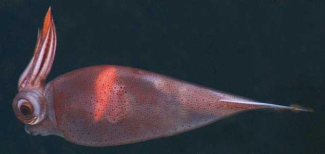 calamar Taonius borealis