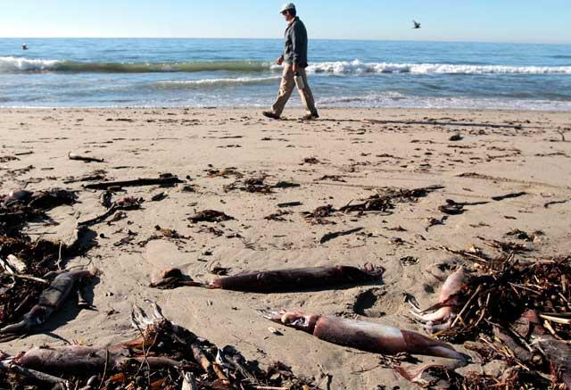 calamares de Humboldt varados en California