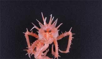 cangrejo rey juvenil Neolithodes brodiei