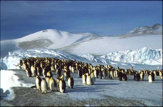 colonia de pingüino emperador
