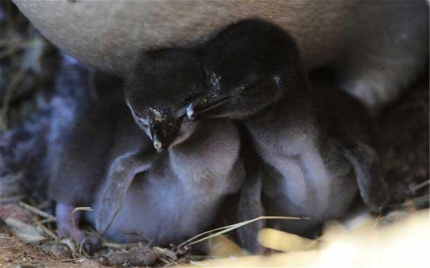crías de pingüinos de Magallanes