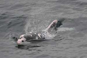 delfín de manchas blancas Parches, California