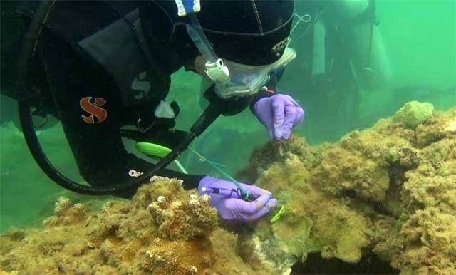 enfermedad del coral en Hawai