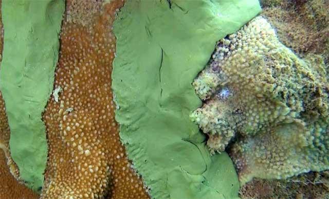 epoxi cubriendo coral enfermo de Hawai