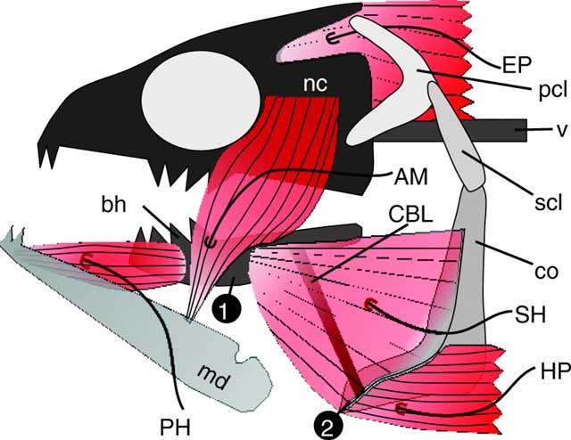 estructura osea y muscular de la cabeza de un pez