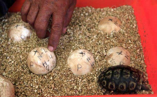 huevos de tortuga gigante de las islas Galápagos