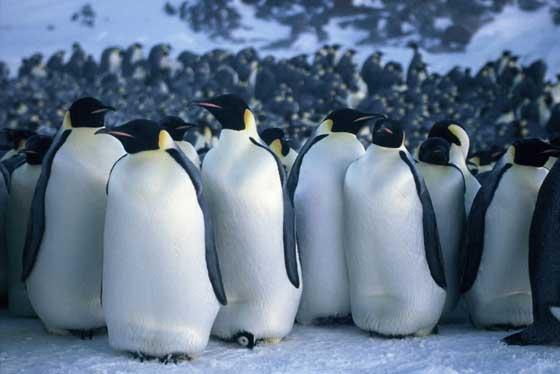 La marcha de los pingüinos emperador