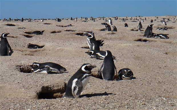 parejas de pingüinos de Magallanes