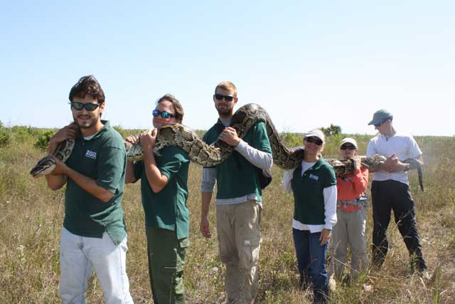 pitón birmana gigante de los Everglades, Florida