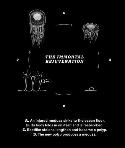 rejuvenecimiento de la medusa inmortal