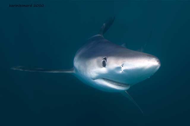 poster de tiburón azul