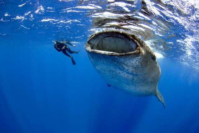 tiburón ballena y buzo