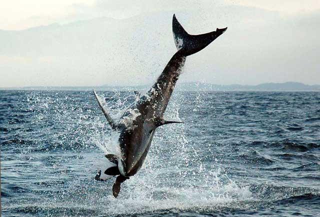 tiburón blanco salta en el aire para atrapar un señuelode foca