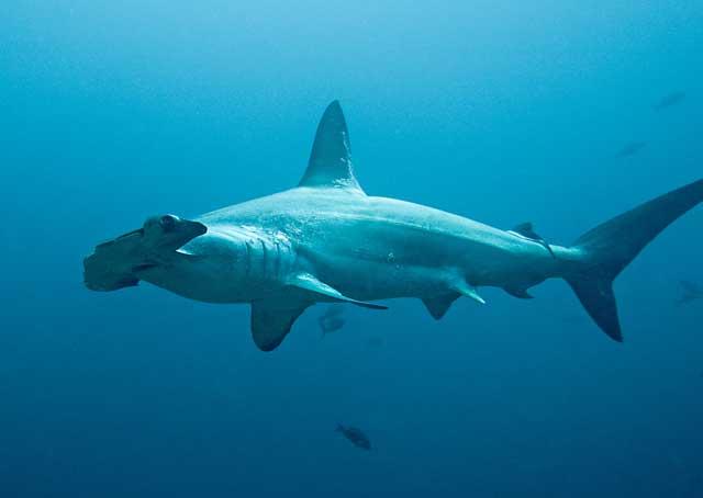 tiburón martillo en Costa Rica