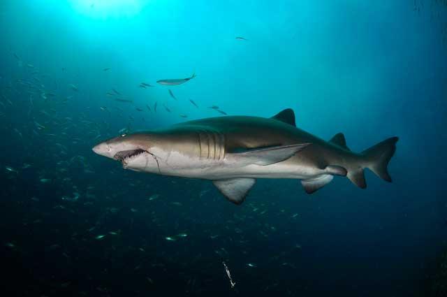 tiburón nodriza con anzuelo en la boca