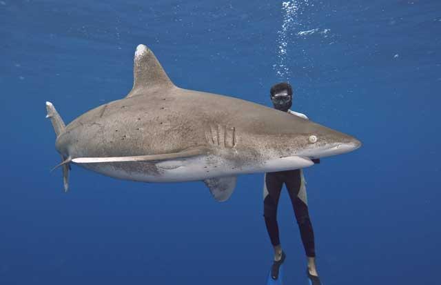 tiburón oceánico en las Bahamas