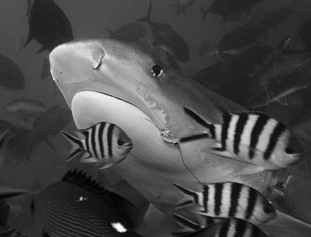 tiburón tigre en Fiji