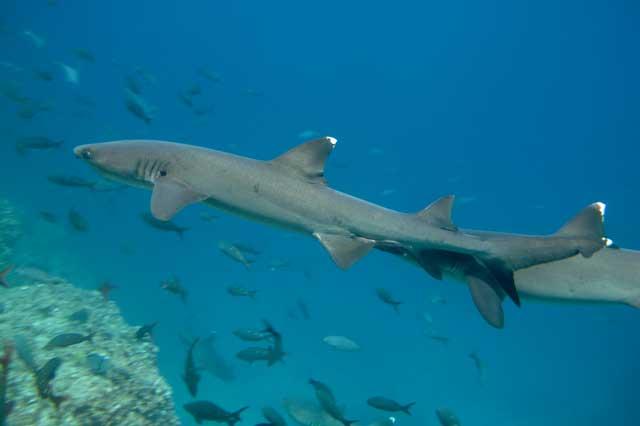 tiburones en las Islas Galápagos