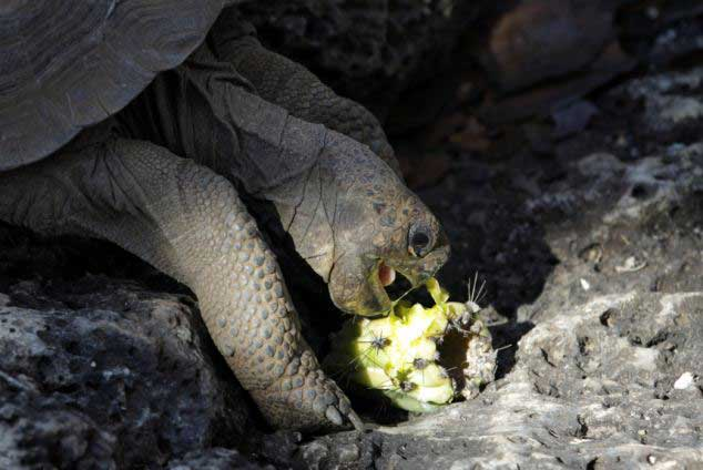 tortuga gigante de las islas Galápagos
