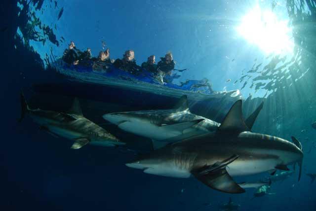 turistas en observación de tiburones