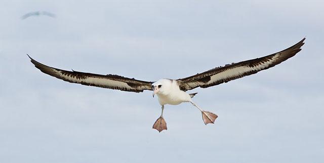un albatros en vuelo
