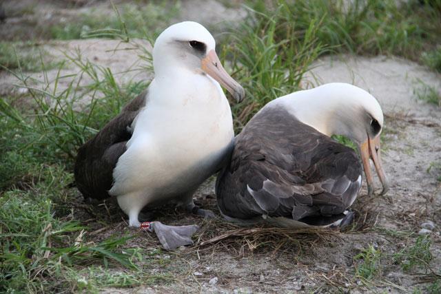 albatros Wisdom (sabiduria) y su compañero
