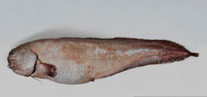 anguila parda