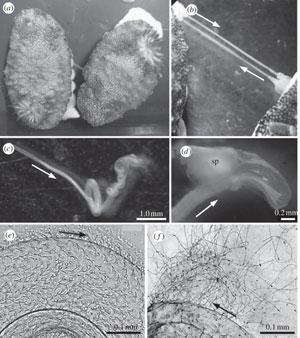 acto sexual de la babosa de mar Chromodoris reticulata