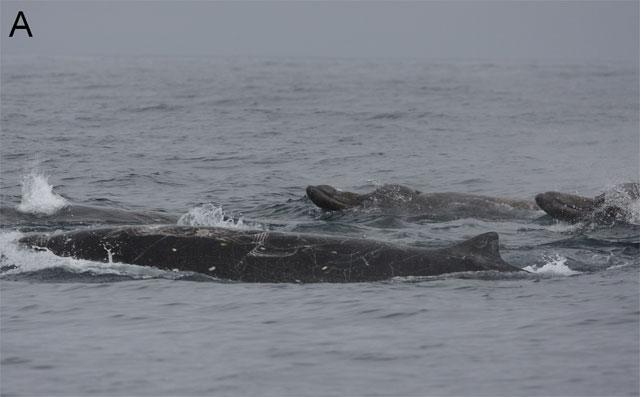 ballena picuda de Baird (Berardius bairdii)