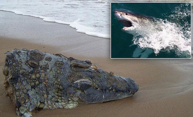 cabeza de cocodrilo en una playa de Sudáfrica