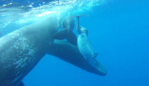 cachalotes adoptan a delfín mular, en Azores