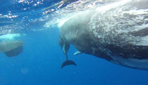 cachalotes adoptan a delfín mular con daño en la columna