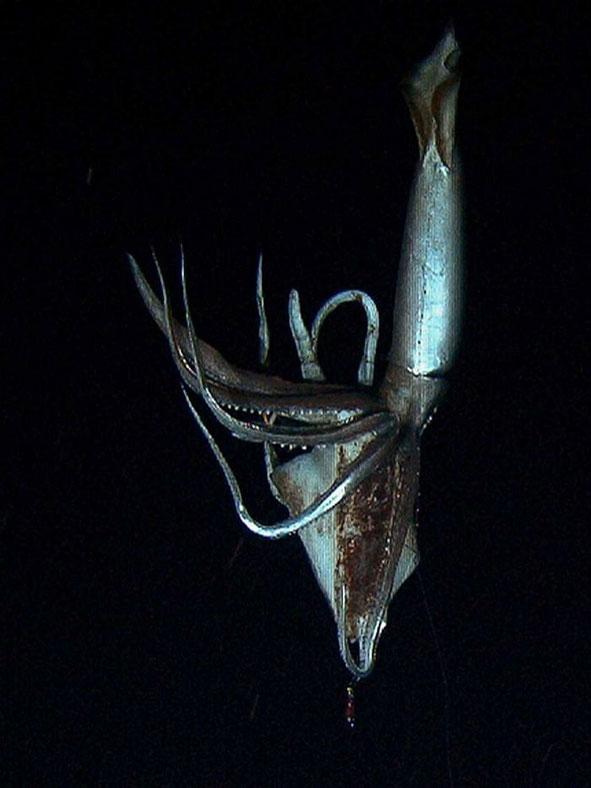 calamar gigante filmado recientemente