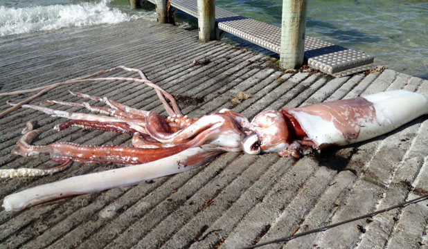calamar gigante encontrado en kaikoura, Nueva Zelanda