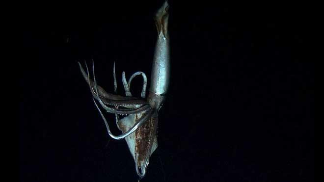 calamar gigante vivo