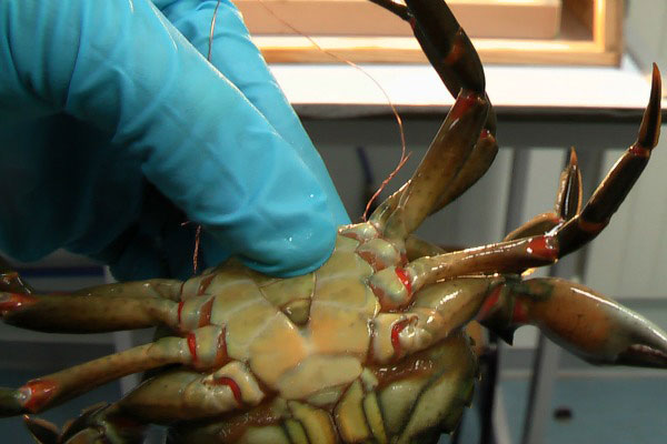 un cangrejo recibe descargas eléctricas