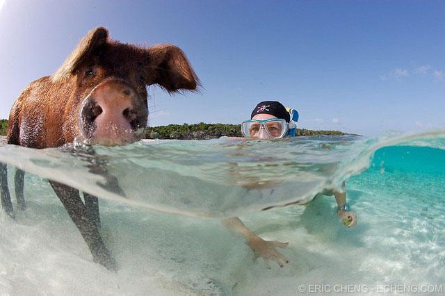 cerdo nadador de las Bahamas