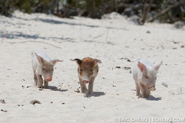 cerdos nadadores de las Bahamas