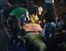 necropsia del cocodrilo Lolong, Filipinas