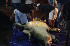 autopsia del cocodrilo Lolong, Filipinas