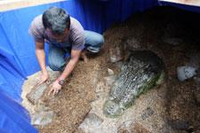 conservación en hielo del cocodrilo Lolong