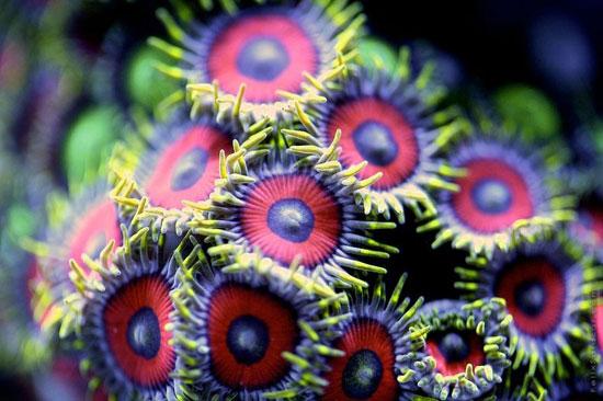 coral en un acuario de agua salada zoom