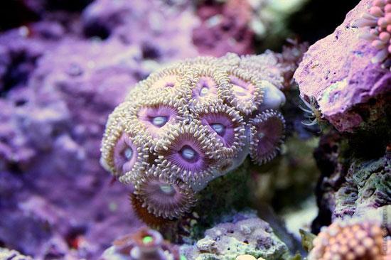 coral en un acuario de agua salada - macro