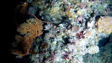corales de aguas profundas en la Gran Barrera