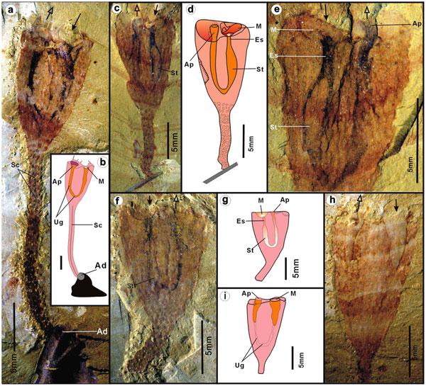 fósiles de Cotyledion tylodes