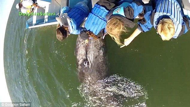 cría de ballena busca caricias