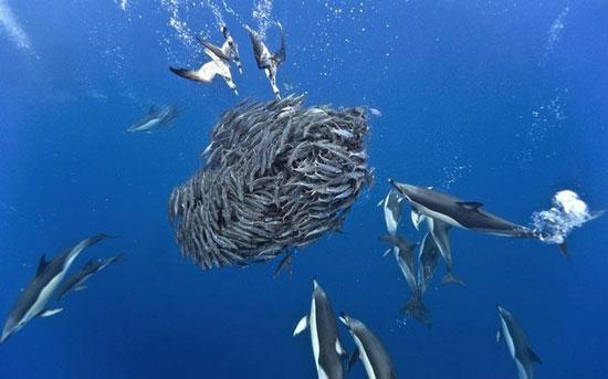 delfines atacan un cardumen de caballas