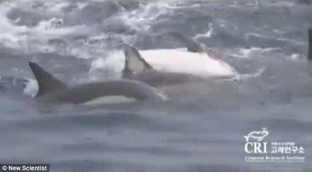 delfines forman una balsa salvavidas para ayudar a una hembra enferma