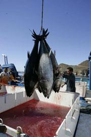 descarga de de atún de aleta azul del Pacífico